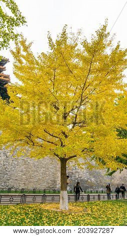 Beijing, China - Oct 30, 2016: Vibrant yellow Gingko leaves at park. Visitors line Donghuamen Road, just outside the walls to the Forbidden City (Gu Gong, Palace Museum).
