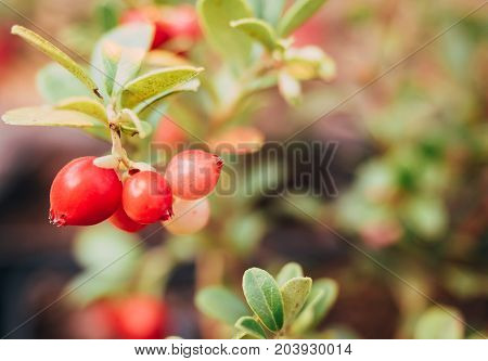Wild forest plants Kola Peninsula and Scandinavia: Branch bush cranberries with big juicy ripe berries among forest plants, closeup. Background is blurred.