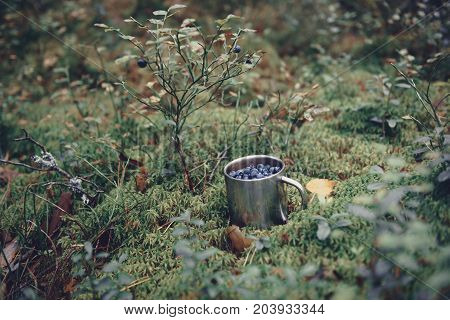 Blueberries in metal cup in forest. Fresh blueberries in metal cup on the ground in forest. A cup of blueberries