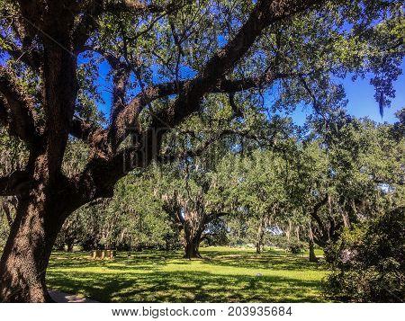 White Birds And Oak Trees