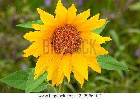 Sonnenblume  Pflanzen Blumen Flora Natur Wiese  feld blütenblätter