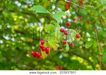 Clusters of red viburnum on branches. Studio Photo