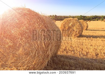 Agricultural field after harvesting wheat. Rolls of hay close-up in the rays of the sun