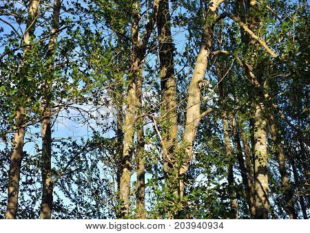 Poplar trees in summer can be used as a background.