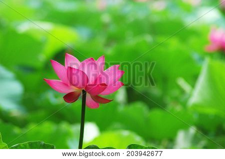 blooming lotus flower in summer pond with green leaves as background
