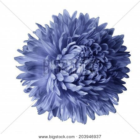 Light blue aster flower isolated on white background with clipping path. Closeup no shadows. Nature.