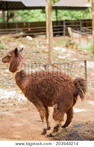 Brown Alpaca standing on the farm in thailand
