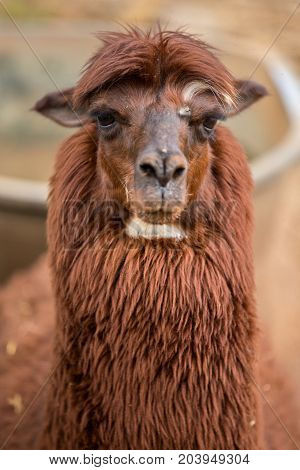 Brown Alpaca with a Gleam in the Eye - Frontal photograph of a brown alpaca