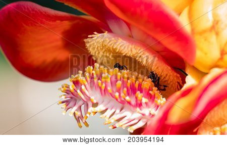 Two black yellow bee sucking sweet nectar from cannonball tree ( Couroupita guianensis Aubl. ) flowers. Attractive and charming woman concept