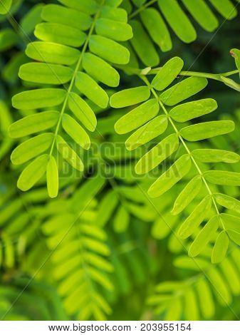 Close up tamarind green leaves, natural background