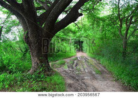 the big Jamjuree and muddy way in farm and