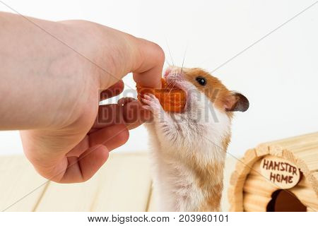The hamster takes the dried apricots out of the girl's hand.