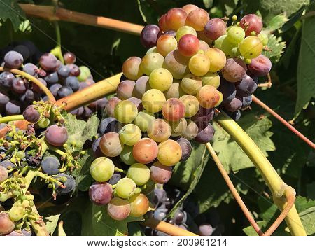 Ripened grapes on the vine in Napa Valley, California.