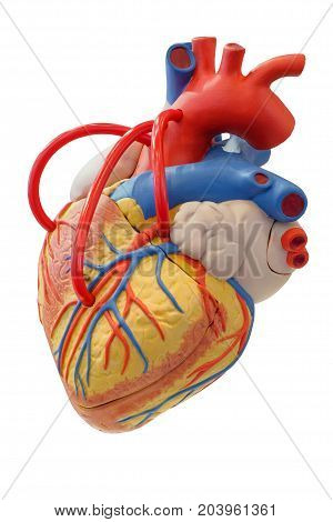Anatomy model of the cardiovascular system for use in medical education, isolated on white background