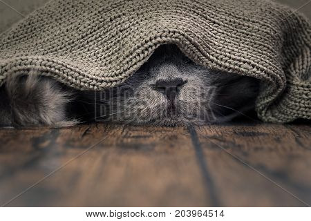 The nose of the cat under the blanket. The concept of heat cold the comfort of home
