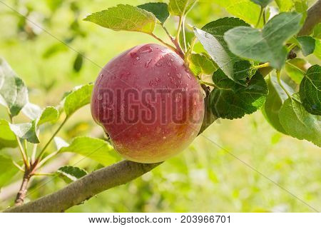 Red apple covered with water drops on the apple tree in an orchard closeup