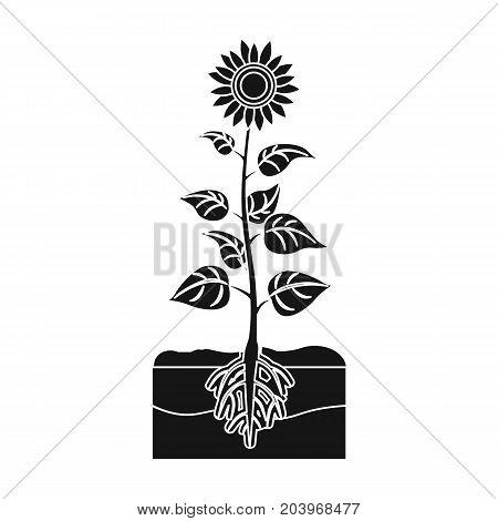 Sunflower, single icon in black style.Sunflower vector symbol stock illustration .