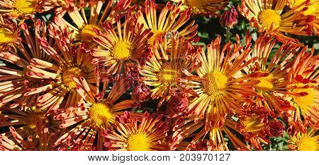bright background of blooming chrysanthemums in flowerbed