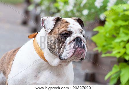 white English Bulldog or British Bulldog close up