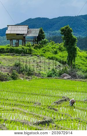 A farmer is working on his rice field with a hut and mountain in the background at Pa Bong Piang near Inthanon National Park and Mae Chaem Chiangmai Thailand.