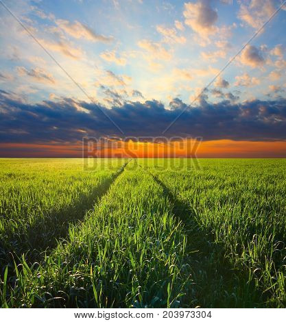 Agriculture. Track in a barley field on a sunset sky background