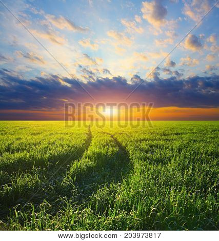 Beautiful landscape. Track in a barley field on a sunset in sunshine