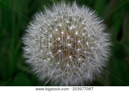 Fluffy dandelion is growing on a green meadow. Beauty in nature.
