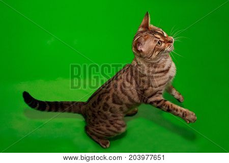Beautiful bengal cat standing on its hind paws. Pet animals.