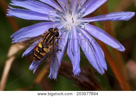 Hoverfly is sittiing on a purple flower. Wild animals.