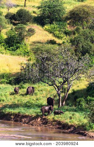 Group of elephants near river. Tarangire, Tanzania