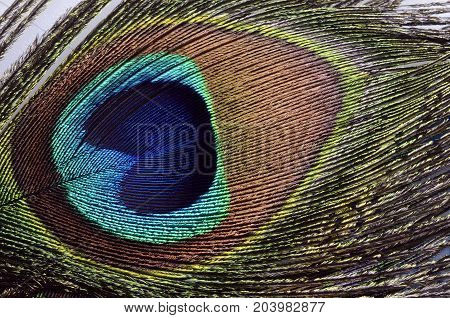 Peacock feather macro for background or texture