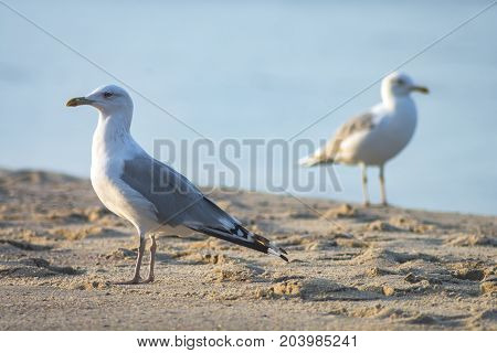 Two seagulls on a sand beach. Summer composition.