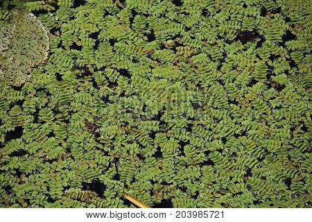 Duckweed. Green Duckweed natural background on water.