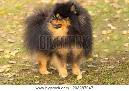 Dvesobaki get acquainted sniffing each otherDog Pomeranian Spitz of dark color walks through autumn yellow foliage. Space under the text. 2018 year of the dog in the eastern calendar Concept: parodist dogs, dog friend of man, true friends, rescuers.