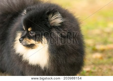 Dog Pomeranian Spitz of dark color decorative breed of dogs. Space under the text. 2018 year of the dog in the eastern calendar Concept: parodist dogs, dog friend of man, true friends, rescuers.