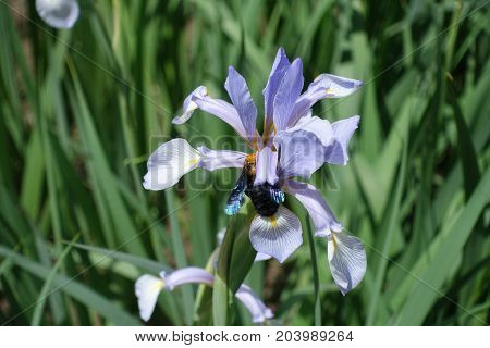 Carpenter Bee Pollinating Flower Of Butterfly Iris