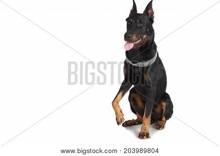 Beauceron dog sitting down french shepherd on white background. Sheepdog clever domestic animal