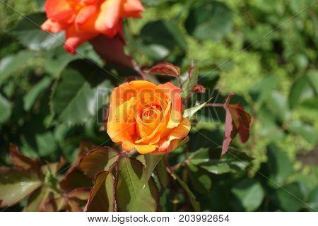 Half Opened Flower Of Orange Garden Rose