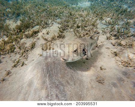 Stellate Puffer Fish (arothron Stellatus)