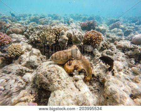 Reef Octopus (octopus Cyanea) On Coral Garden