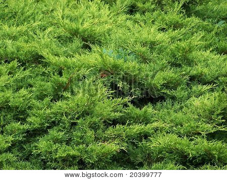 Beautiful green coniferous bushes. Macroshooting.