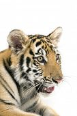 Head shot of a bengal tiger poster