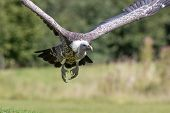 Ruppells Griffon vulture (Gyps rueppelli) flying head on. Close up of African scavenger bird in flight. poster