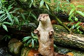 Eurasian otter in aquarium/ The Eurasian otter Lutra lutra, also known as the European otter, Eurasian river otter, common otter, and Old World otter, is a semiaquatic mammal native to Eurasia. The most widely distributed member of the otter subfamily Lut poster
