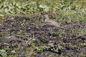 Senegal thick-knee standing not swamped by the shore of Lake Albert poster