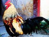 close up of a beautiful rooster posing poster