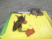 mice stuck on a sticker or catcher with baits close up poster