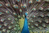 peacock bird. poster