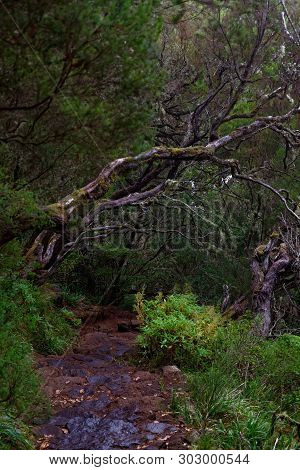 Wet Footpath In A Tropical Forest. Portuguese Island Of Madeira