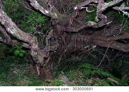 Old Dry Tree In A Tropical Rain Forest. Portuguese Island Of Madeira